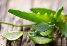 Aloe vera Wundermittel