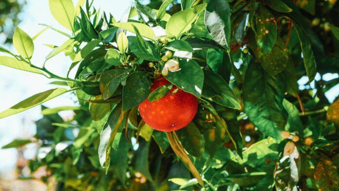 Orangen am Baum mit Blüte